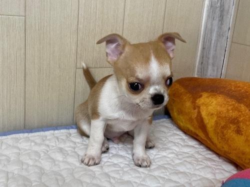 チワワ(ロング)の子犬(ID:1239111113)の3枚目の写真/更新日:2017-10-16