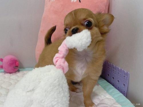 チワワ(ロング)の子犬(ID:1239111114)の3枚目の写真/更新日:2017-07-24
