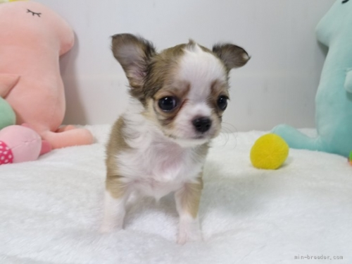 チワワ(ロング)の子犬(ID:1239111114)の5枚目の写真/更新日:2018-11-23