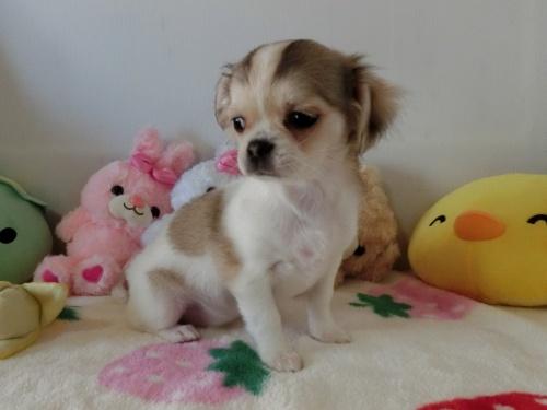 チワワ(ロング)の子犬(ID:1239111115)の1枚目の写真/更新日:2017-07-24
