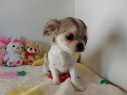 チワワ(ロング)の子犬(ID:1239111115)の2枚目の写真/更新日:2017-07-24