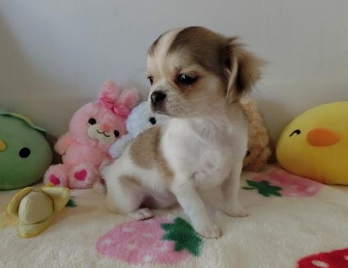 チワワ(ロング)の子犬(ID:1239111115)の3枚目の写真/更新日:2017-07-24