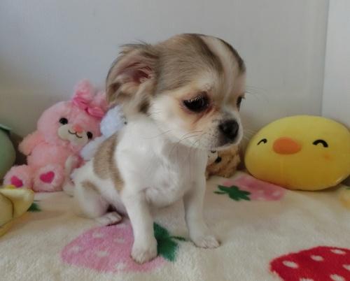 チワワ(ロング)の子犬(ID:1239111115)の4枚目の写真/更新日:2017-07-24
