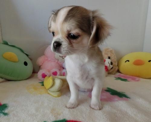 チワワ(ロング)の子犬(ID:1239111115)の5枚目の写真/更新日:2017-07-24