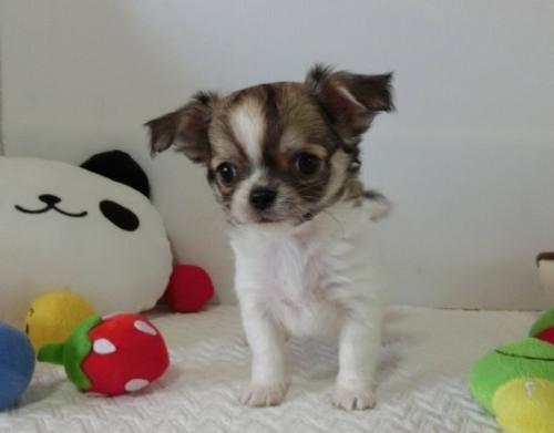 チワワ(ロング)の子犬(ID:1239111116)の1枚目の写真/更新日:2017-07-24