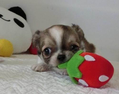 チワワ(ロング)の子犬(ID:1239111116)の2枚目の写真/更新日:2017-07-24