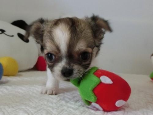 チワワ(ロング)の子犬(ID:1239111116)の3枚目の写真/更新日:2018-12-16