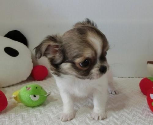 チワワ(ロング)の子犬(ID:1239111116)の4枚目の写真/更新日:2017-07-24