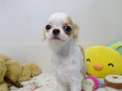 チワワ(スムース)の子犬(ID:1239111117)の1枚目の写真/更新日:2019-01-18