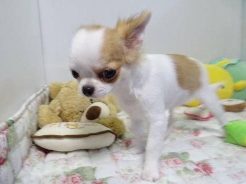 チワワ(ロング)の子犬(ID:1239111117)の3枚目の写真/更新日:2017-10-16