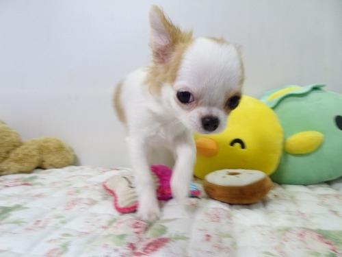 チワワ(ロング)の子犬(ID:1239111117)の4枚目の写真/更新日:2017-10-16