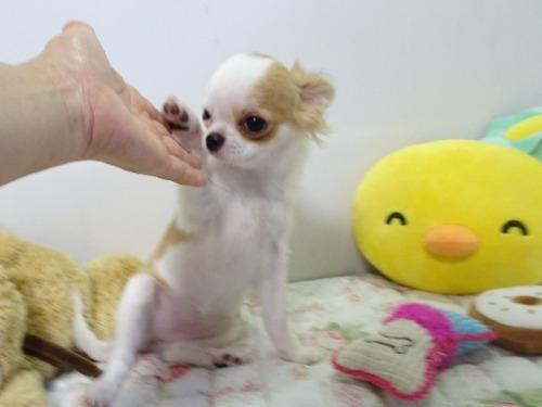 チワワ(ロング)の子犬(ID:1239111117)の6枚目の写真/更新日:2017-10-16