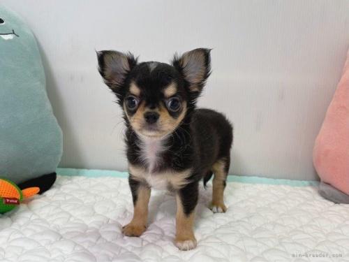 チワワ(ロング)の子犬(ID:1239111118)の2枚目の写真/更新日:2017-10-16