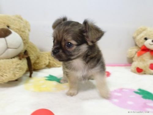 チワワ(ロング)の子犬(ID:1239111119)の2枚目の写真/更新日:2017-09-15