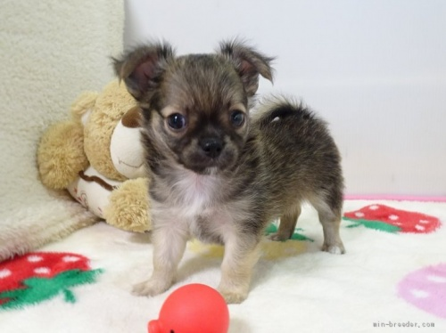 チワワ(ロング)の子犬(ID:1239111119)の3枚目の写真/更新日:2017-09-15