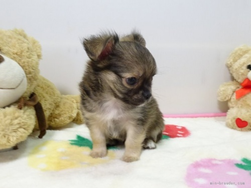 チワワ(ロング)の子犬(ID:1239111119)の4枚目の写真/更新日:2017-09-15