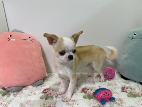 チワワ(ロング)の子犬(ID:1239111120)の3枚目の写真/更新日:2017-10-16