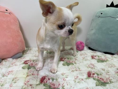 チワワ(ロング)の子犬(ID:1239111120)の5枚目の写真/更新日:2017-10-16