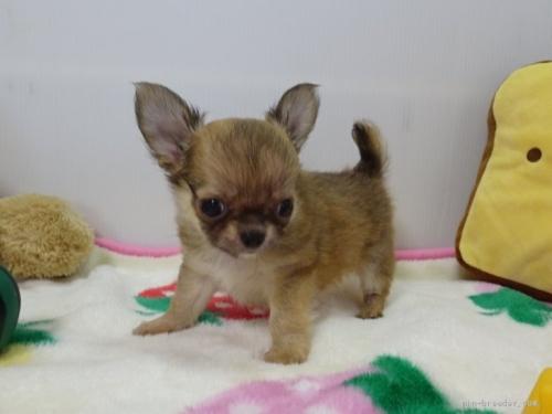 チワワ(スムース)の子犬(ID:1239111121)の1枚目の写真/更新日:2017-09-25