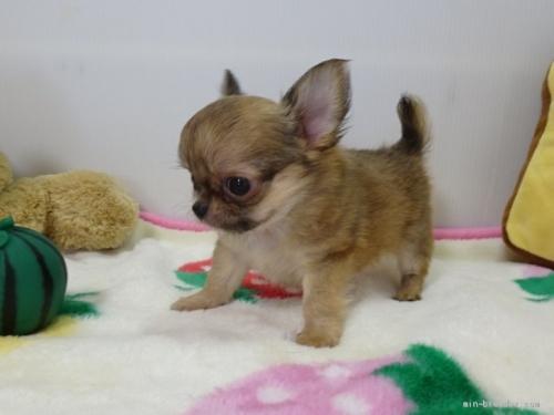 チワワ(スムース)の子犬(ID:1239111121)の3枚目の写真/更新日:2017-09-25
