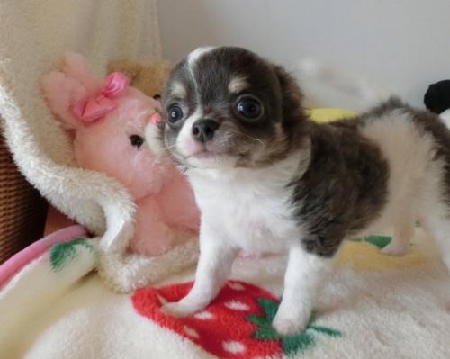 チワワ(スムース)の子犬(ID:1239111122)の2枚目の写真/更新日:2017-10-16