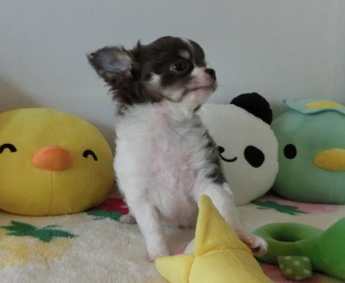 チワワ(ロング)の子犬(ID:1239111122)の3枚目の写真/更新日:2019-02-06