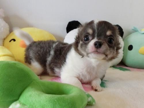 チワワ(ロング)の子犬(ID:1239111122)の4枚目の写真/更新日:2019-02-06