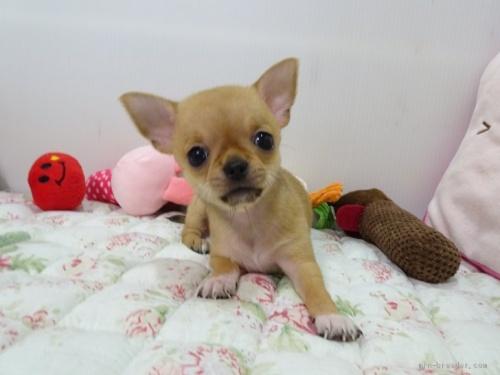 チワワ(ロング)の子犬(ID:1239111124)の1枚目の写真/更新日:2017-12-05