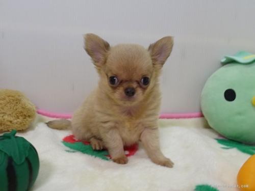 チワワ(スムース)の子犬(ID:1239111125)の1枚目の写真/更新日:2017-12-08