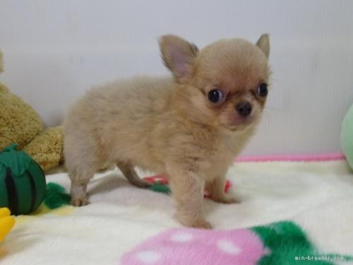 チワワ(スムース)の子犬(ID:1239111125)の2枚目の写真/更新日:2019-03-23