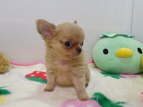 チワワ(スムース)の子犬(ID:1239111125)の3枚目の写真/更新日:2017-12-08