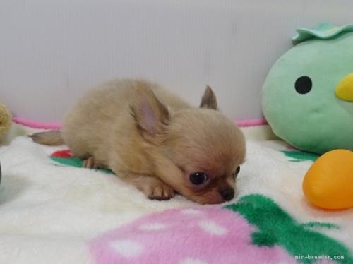 チワワ(スムース)の子犬(ID:1239111125)の4枚目の写真/更新日:2019-03-23