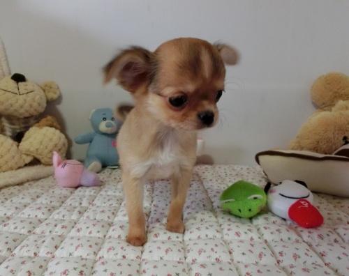 チワワ(ロング)の子犬(ID:1239111126)の1枚目の写真/更新日:2017-12-24