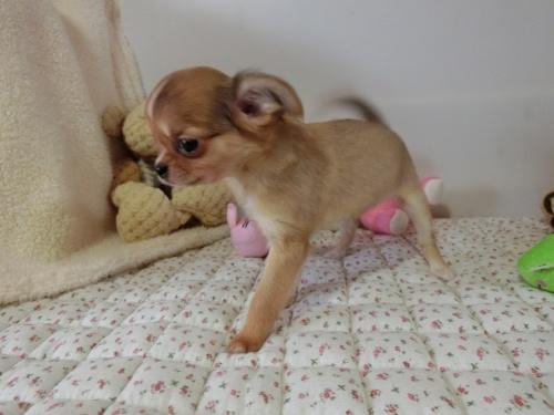 チワワ(ロング)の子犬(ID:1239111126)の3枚目の写真/更新日:2017-12-24