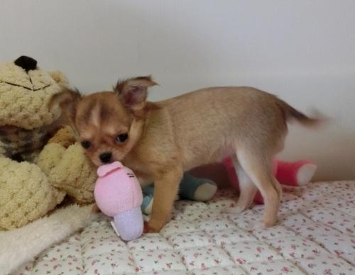 チワワ(ロング)の子犬(ID:1239111126)の4枚目の写真/更新日:2017-12-24