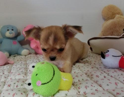 チワワ(ロング)の子犬(ID:1239111126)の6枚目の写真/更新日:2017-12-24