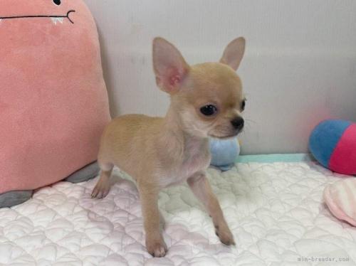 チワワ(ロング)の子犬(ID:1239111127)の2枚目の写真/更新日:2019-03-23