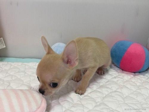 チワワ(ロング)の子犬(ID:1239111127)の3枚目の写真/更新日:2019-03-23