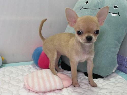 チワワ(スムース)の子犬(ID:1239111127)の5枚目の写真/更新日:2017-12-08