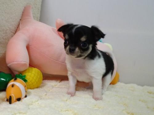 チワワ(スムース)の子犬(ID:1239111128)の1枚目の写真/更新日:2017-12-08