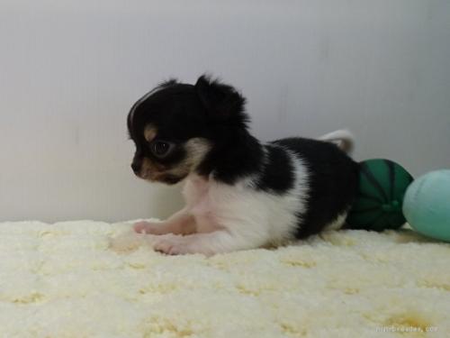 チワワ(スムース)の子犬(ID:1239111128)の2枚目の写真/更新日:2017-12-08