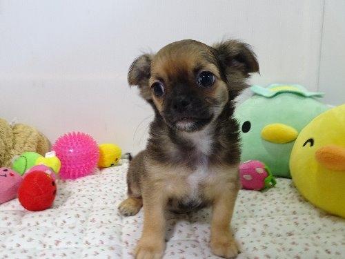 チワワ(ロング)の子犬(ID:1239111129)の1枚目の写真/更新日:2018-01-09