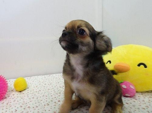 チワワ(ロング)の子犬(ID:1239111129)の2枚目の写真/更新日:2018-01-09