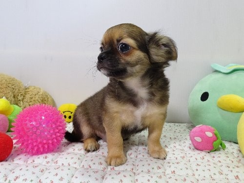 チワワ(ロング)の子犬(ID:1239111129)の3枚目の写真/更新日:2018-01-09