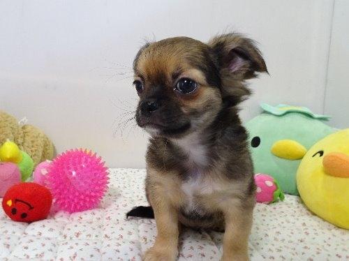 チワワ(ロング)の子犬(ID:1239111129)の5枚目の写真/更新日:2018-01-09