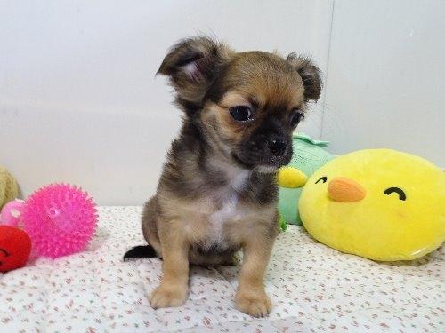 チワワ(ロング)の子犬(ID:1239111129)の6枚目の写真/更新日:2018-01-09