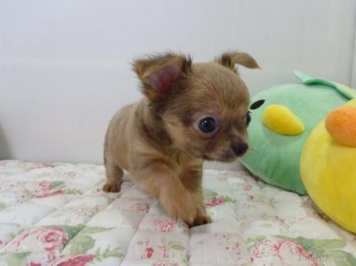 チワワ(スムース)の子犬(ID:1239111130)の1枚目の写真/更新日:2017-12-14