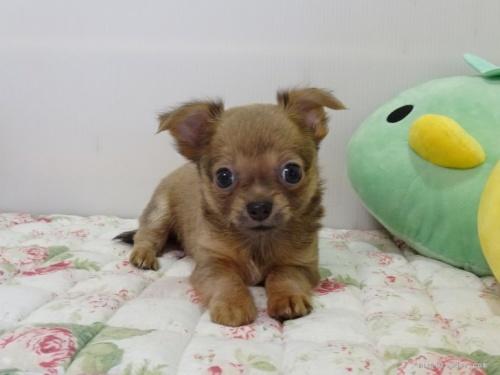 チワワ(スムース)の子犬(ID:1239111130)の2枚目の写真/更新日:2017-12-14
