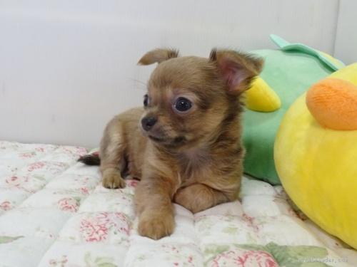 チワワ(スムース)の子犬(ID:1239111130)の3枚目の写真/更新日:2017-12-14