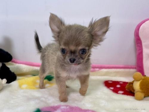 チワワ(スムース)の子犬(ID:1239111131)の1枚目の写真/更新日:2017-12-14